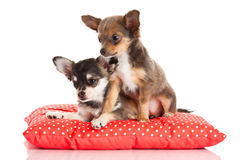 Dogs on pillow isolated on white background Stock Image