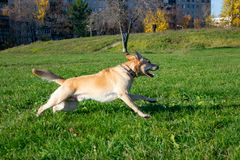 Dogs play with ball and ring. Labrador. Sunstroke, health of pets in the summer. Labrador. Dogs play with his owner, dogs play with ball and ring, dog catches stock photo