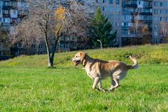 Dogs play with ball and ring. Labrador. Sunstroke, health of pets in the summer. Labrador. Dogs play with his owner, dogs play with ball and ring, dog catches royalty free stock photos
