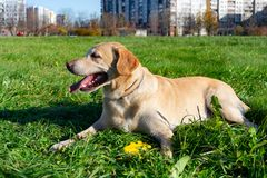 Dogs play with ball and ring. Labrador. Sunstroke, health of pets in the summer. Labrador. Dogs play with his owner, dogs play with ball and ring, dog catches stock photography