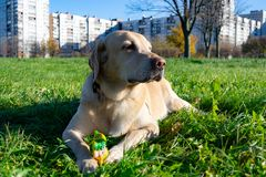 Dogs play with ball and ring. Labrador. Sunstroke, health of pets in the summer. Labrador. Dogs play with his owner, dogs play with ball and ring, dog catches royalty free stock images