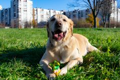 Dogs play with ball and ring. Labrador. Sunstroke, health of pets in the summer. Labrador. Dogs play with his owner, dogs play with ball and ring, dog catches royalty free stock photo