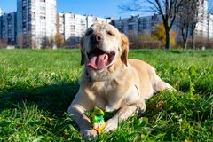 Dogs play with ball and ring. Labrador. Sunstroke, health of pets in the summer. Labrador. Dogs play with his owner, dogs play with ball and ring, dog catches royalty free stock image