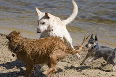 Dogs Play on the Beach. German Sheperd, Golden Retriever and Schnauzer play on a dog beach in Pensacola, Florida Stock Images