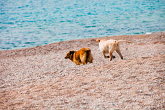 Dogs play on beach Stock Photos