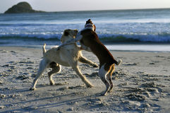 Dogs play beach. Dogs playing in the beach, hugging Stock Images