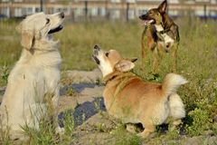 Dogs play with each other. Labrador retriever . Corgi pembroke. Dogs play with each other. Labrador retriever. Merry fuss puppies. Aggressive dog. Training of stock image