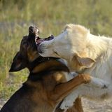 Dogs play with each other. Labrador retriever. Merry fuss puppies. Aggressive dog. Training of dogs. Puppies education, cynology, intensive training of young stock image