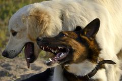 Dogs play with each other. Labrador retriever. Merry fuss puppies. Aggressive dog. Training of dogs. Puppies education, cynology, intensive training of young royalty free stock images