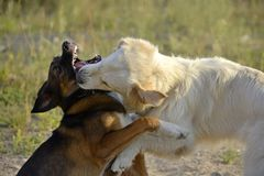 Dogs play with each other. Labrador retriever. Merry fuss puppies. Aggressive dog. Training of dogs. Puppies education, cynology, intensive training of young stock photo