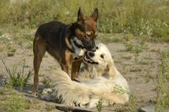 Dogs play with each other. Labrador retriever . Dogs play with each other. Labrador retriever. Merry fuss puppies. Aggressive dog. Training of dogs. Puppies royalty free stock photography