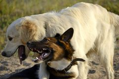 Dogs play with each other. Labrador retriever . Dogs play with each other. Labrador retriever. Merry fuss puppies. Aggressive dog. Training of dogs. Puppies royalty free stock image