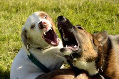 Dogs play with each other. Merry fuss puppies. Aggressive dog. Training of dogs Stock Photo