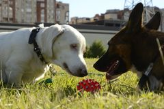 Dogs play with each other. Merry fuss puppies. Aggressive dog. Training of dogs. Double marble dachshund Stock Images
