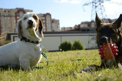 Dogs play with each other. Merry fuss puppies. Aggressive dog. Training of dogs. Double marble dachshund Stock Image