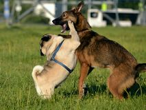 Dogs play with each other. Young pug-dog. Merry fuss puppies. Aggressive dog. Training of dogs. Puppies education, cynology, inte. Nsive training of young dogs stock image