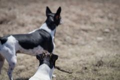 Dogs play fetch. Two Rat Terrier dogs play fetch with a stick outside in a field stock images