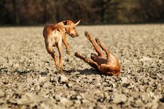 Dogs play fighting. Two young dogs playing and fighting together on a field Royalty Free Stock Photo
