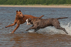 Dogs play fighting in the water Royalty Free Stock Image