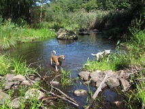 Dogs Play in a Forest Pond Royalty Free Stock Images