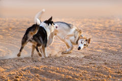 Dogs play fun Stock Photography