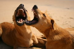 Dogs play and growl Stock Image