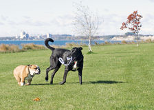 Dogs at Play in Leash-Free Park. An English Bull Dog and a Labrador-Cross play a game of tug-of-war in a leash-free park overlooking a lake Royalty Free Stock Images