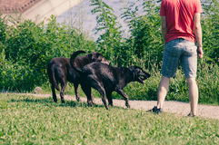 Dogs play outdoor Royalty Free Stock Images
