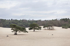 Dogs play on sand of lange duinen in Soest. Dogs play on sand of lange duinen near dutch town of Soest amongst pine trees Stock Photography