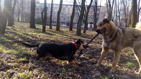 Dogs play with a stick.  stock video footage