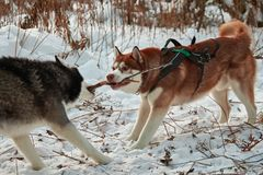 Dogs play with a stick,. Selecting it from each other. Siberian husky are dragging and sharing treat wooden stick. Husky dogs fight for stick royalty free stock image