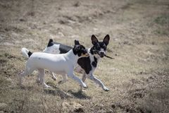 Dogs play with stick. Two Rat Terrier dogs play with a stick outside in a field royalty free stock photos