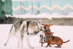 Dogs Play Together. Funny Dog Red Brown Miniature Pinschers Pinchers Royalty Free Stock Images