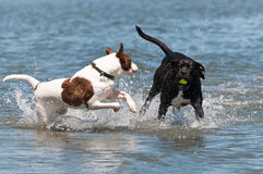 Dogs play in the water Stock Images