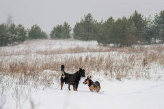 Dogs play in winter Royalty Free Stock Photography