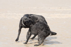 Dogs play-wrestling on beach Royalty Free Stock Photography