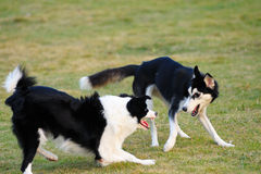 Dogs playing. Two dogs playing on the lawn in the park Royalty Free Stock Photo