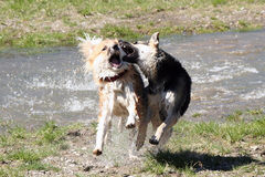 Dogs playing. Two dogs running out of the water playing. Looks actually quite dangerous, but they are just fooling around stock photos
