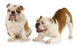 Dogs playing. Two english bull - one trying to ignore the other on white background Stock Photography
