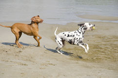 Dogs playing Stock Image