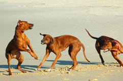 Dogs playing Royalty Free Stock Photos