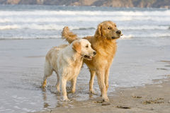 Dogs playing. Two golden retrievers playing with a small stick on the beach Stock Photo