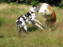 Dogs playing Stock Photos