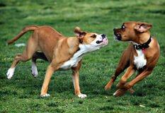 Dogs Playing. In the dog park Stock Photo