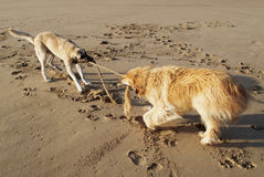 Dogs playing. With a rope on a sandy beach royalty free stock images