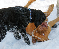 Dogs Playing. Portuguese Water Dog and a Dogue de Bordeaux puppy play in the snow Stock Photo