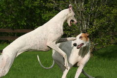 Dogs playing. Greyhounds in action Stock Photography