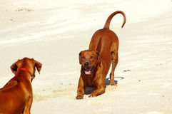 Dogs playing. A big African thoroughbred Rhodesian Ridgeback hound dog going down in front to motivate a little puppy to play in white sand in sunshine outdoors Royalty Free Stock Image