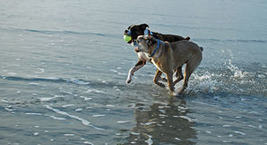 Dogs playing with ball at beach. Two active dogs playing with a ball in the ocean Royalty Free Stock Photography