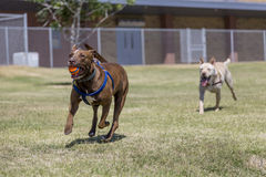 Dogs Playing Ball Royalty Free Stock Photo